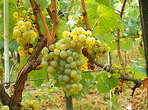 215px-Chardonnay_Moldova