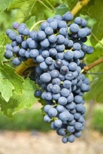Cabernet-Sauvignon-Grapes