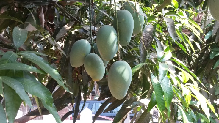 Mallika Mangoes.. taste reminiscent of Alphonso, Dusseri and Totapuri